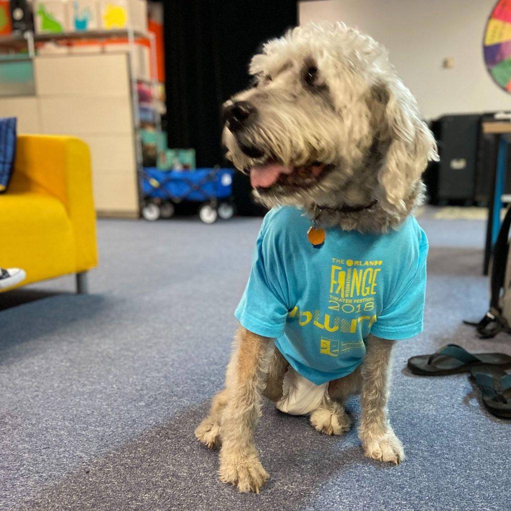 Photo of a fluffy grey haired dog wearing a blue Orlando Fringe Volunteer shirt