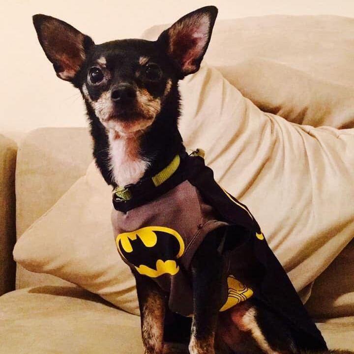 Photo of a Chihuahua wearing a batman costume.
